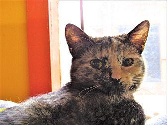 Barbarella Domestic Shorthair Young Female
