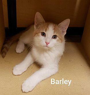 Barley Domestic Shorthair Kitten Male