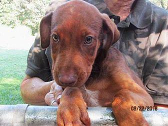 BARON Doberman Pinscher Puppy Male