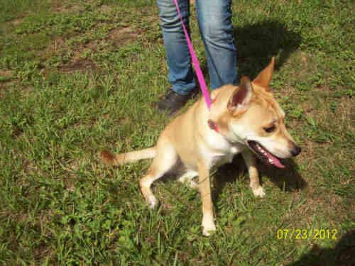 Basenji - Jerry - Medium - Adult - Male - Dog