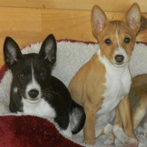 Basenji Pets And Animals For Sale In The Usa Puppy And Kitten