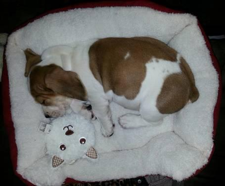 Gatsby | Adopted Dog | London, ON | Basset Hound/French ...