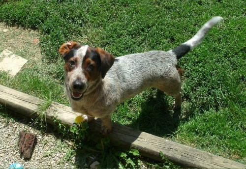 Basset Hound - Layla - Medium - Adult - Female - Dog