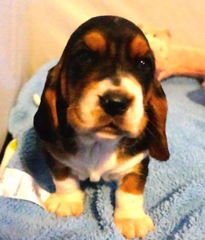 Basset Hound Puppies $500 Available April 29
