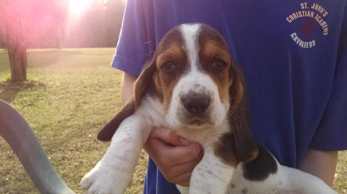 Puppies Basset Hound For Sale In South Carolina Classifieds Buy