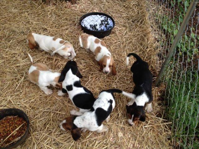 Basset Hound Puppies For Sale In Fredericksburg Virginia Classified