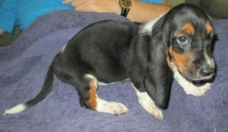 Basset Hound Puppies For Sale In Hudson Florida Classified