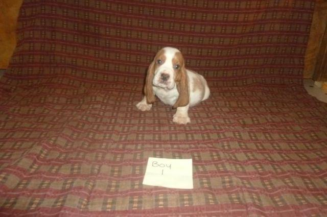 Basset Hound Puppies For Sale For Sale In Crawfordville Florida