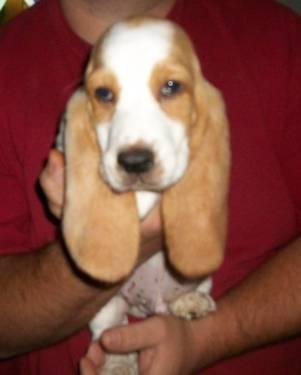 Basset Hound Puppy 8 Weeks Old For Sale In New Concord Ohio