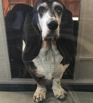 Basset Hound Puppy For Sale Adoption Rescue For Sale In Onsted