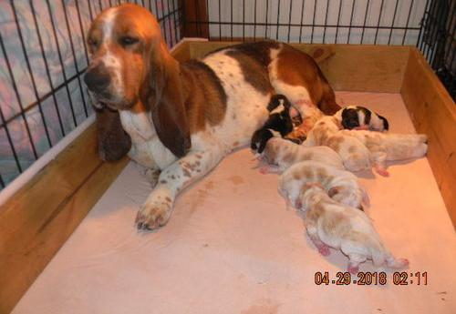 Basset Hound Puppy For Sale Adoption Rescue For Sale In Paw Paw
