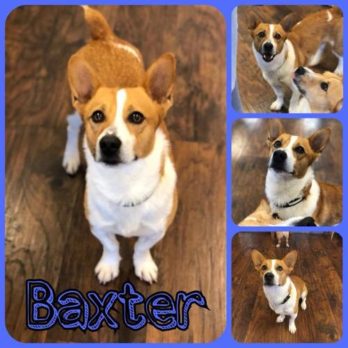 Baxter Corgi Young - Adoption, Rescue