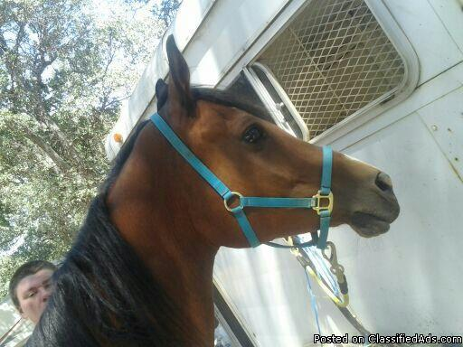 Bay Polish Arabian Gelding for sale