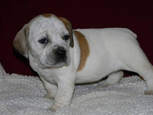BEABULL!!! 1/2 English Bulldog/1/2 Mini Teacup Beagle