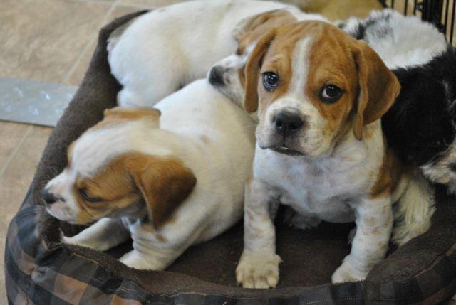 Beabull (Bulldog/Beagle) puppies ready NOW! UTD, Vet ...