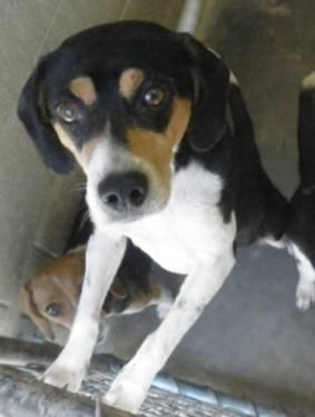 Beagle - Black Diamond - Medium - Adult - Male - Dog