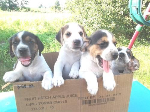 Beagle Bulldog Puppies For Sale In Stanton Michigan Classified