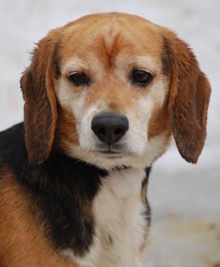 Beagle Charlie Medium Adult Male Dog For Sale In