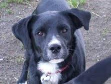 Beagle - Deano - Medium - Adult - Male - Dog