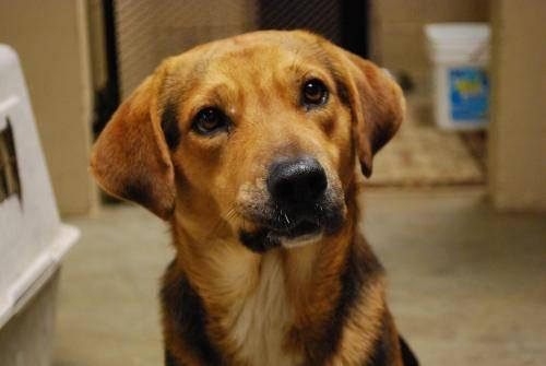 Beagle - Hummer - Medium - Young - Male - Dog