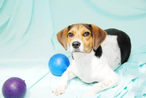 Beagle hunter small adult male dog for sale in cincinnati