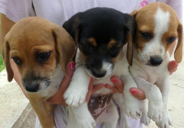 Beagle Jack Russell Mix 8 Weeks For Sale In Bastrop