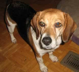 Beagle - Janie - Small - Adult - Female - Dog