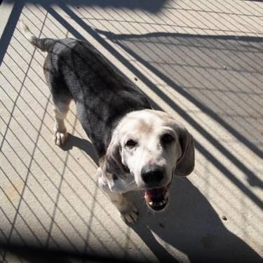 Beagle - Junior - Medium - Senior - Male - Dog