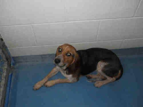 Beagle - Lenora's Rosie - Medium - Adult - Female - Dog