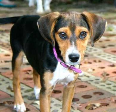 Beagle - Lucy - Medium - Young - Female - Dog