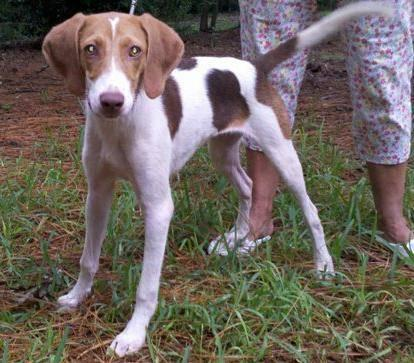 Beagle - Mera - Medium - Young - Female - Dog