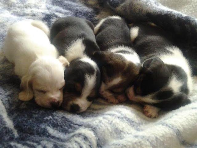 Beagle Puppies - Adorable Lemon & Tri AKC