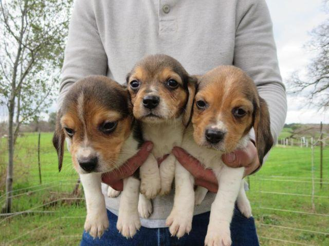 Beagle Puppies Akc For Sale In Lincoln California Classified