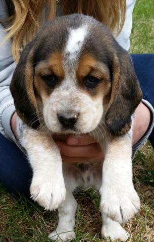 Beagle Puppies For Sale In Milford Pennsylvania Classified