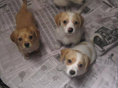 Baby Beagle Dog For Sale