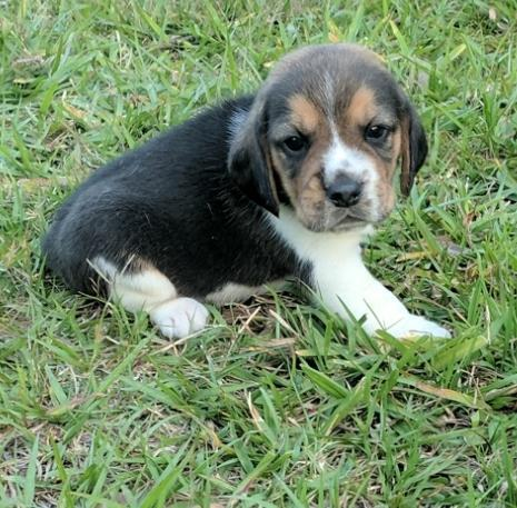 Beagle Puppy For Sale Adoption Rescue For Sale In Fort Meade