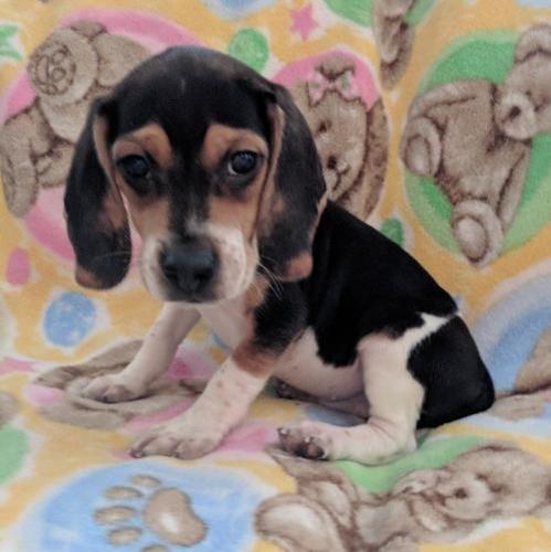 Beagle Puppy For Sale Adoption Rescue For Sale In Belgrade