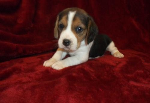 Beagle Puppy for Sale - Adoption, Rescue for Sale in Hartford