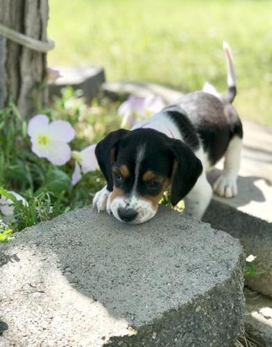 Beagle Puppy For Sale Adoption Rescue For Sale In Corona
