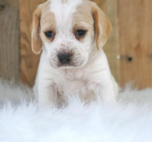 Beagle Puppy for Sale - Adoption, Rescue