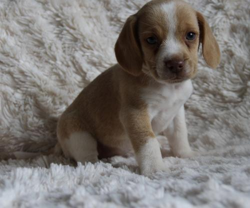 Beagle Puppy for Sale - Adoption, Rescue for Sale in Natchitoches