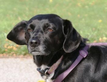 Beagle susie small adult female dog for sale in ashtabula