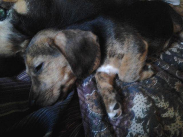 Beagle Mix Puppies For Sale in Ohio Beagle Weiner Dog Mix For Sale