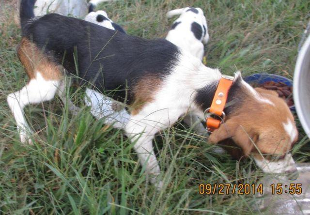 south carolina mobile homes with Beagles For Rabbit Hunting For Sale 29046783 on Scotts Riding Mower 16hp 42cut Hydro Works Great Local Delivery 425 Fleetwood Pa 19522 19201261 together with White Long Haired German Shepherd Puppies 4 Weeks Old 26107757 besides Adorable Belgian Malinois German Shepherd Mix Woman12 Weeks Old 26943747 together with Home Decor Trends 50s 60s And 70s furthermore 94164562.