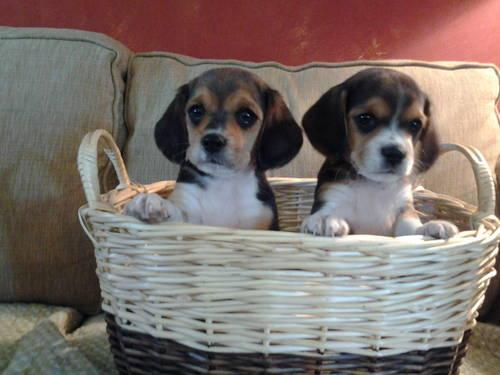 Beaglier Puppies ~ Beagle and King Charles Cavalier!