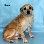 Bear Border Terrier Adult - Adoption, Rescue