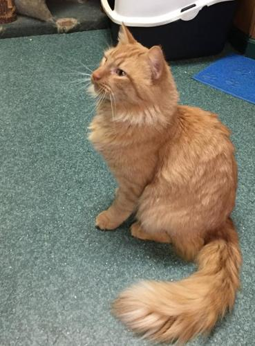 Bear Cat Maine Coon Adult - Adoption, Rescue