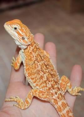bearded dragon package deal for sale in russellville. Black Bedroom Furniture Sets. Home Design Ideas