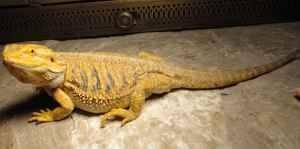 Bearded Dragons Red Yellow And Coppers For Sale In San