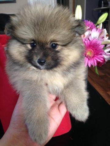 Pomeranian Puppy Bear Face Classifieds Buy Sell Pomeranian Puppy
